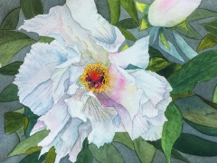 A beautiful watercolour painting of a white Japanese Paeony.