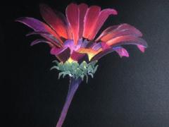 Purple-African-Daisy